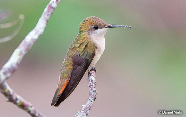 ruby-topaz_hummingbird female