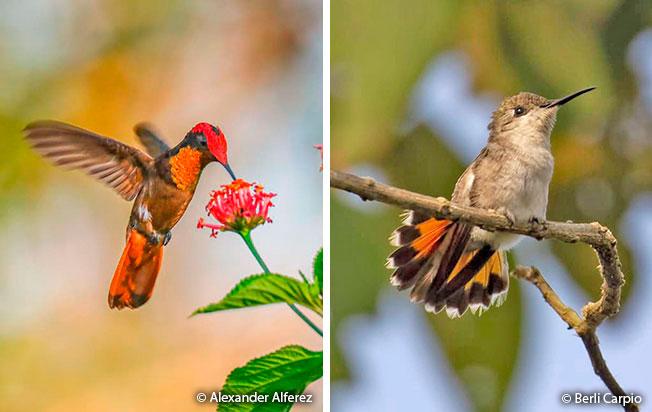 ruby-topaz_hummingbird femle