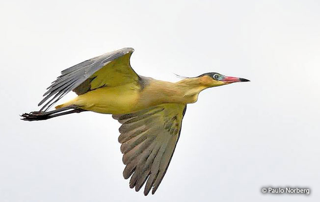whistling_heron