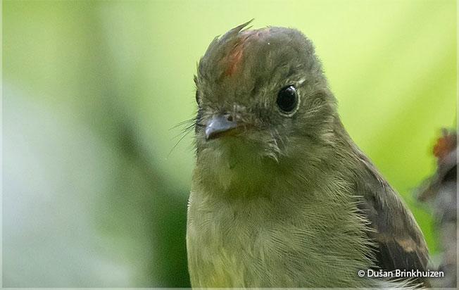 orange-crested flycatcher