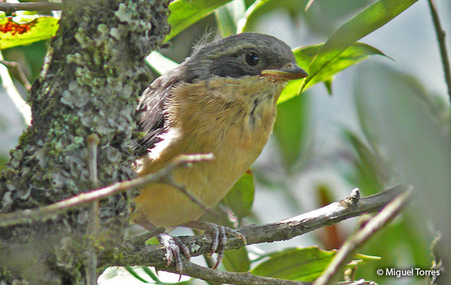 juvenile fawn-breasted tanager