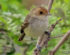 Fulvous-headed Scrub-Tyrant (Euscarthmus fulviceps)