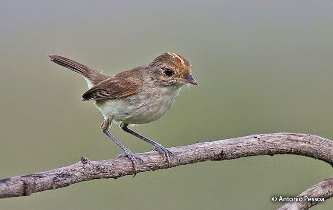 Rufous-crowned Pygmy-Tyrant